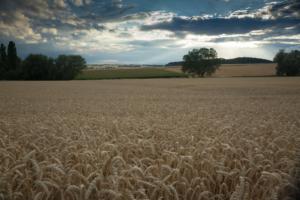 Bild von einem Getreidefeld