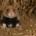 Bild mit einem Junghamster, der aus seinem Bau guckt