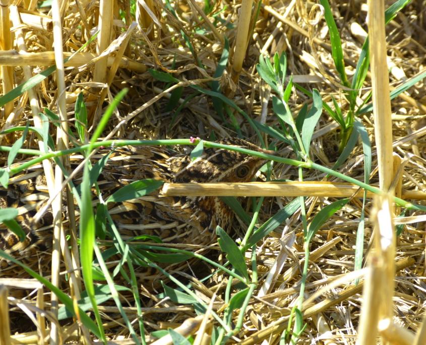 Auf dem Acker fanden wir nicht nur Feldhamsterbaue - hier entdeckten wir eine Wachtel