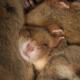 Schlafende Feldhamster