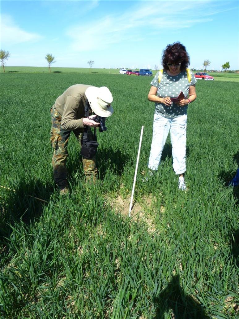 Auf einem Weizenschlag in Mammendorf fanden wir einige Feldhamsterbaue