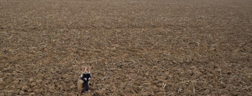 Feldhamster auf leerem Acker